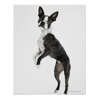 dog standing on 2 legs looking at camera poster