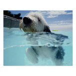 Dog Swimming in a Swimming Pool Poster