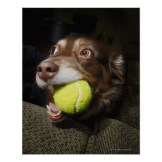 Dog with Tennis Ball Poster