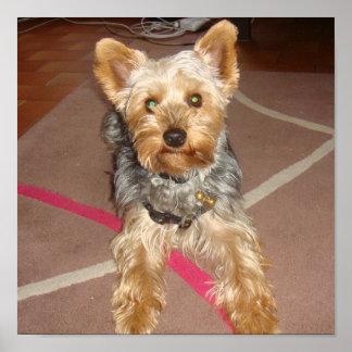 "dog ""yorkshire terrier"" poster"