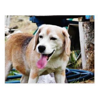 Dogs Beagles Tongues Fur Panting Postcard