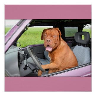 Dogue de Bordeaux driving Poster