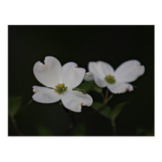 Dogwood Blossom Postcard