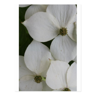 Dogwood Dream Postcard