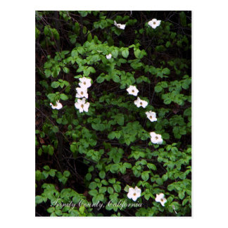 Dogwood Flowers in the woods... Postcard