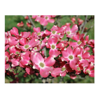 Dogwood Tree in Bloom Postcard