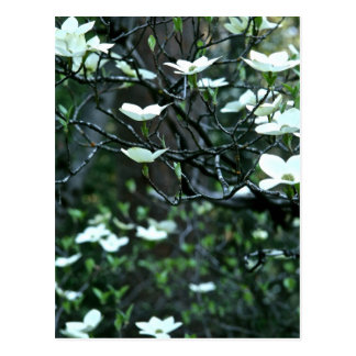 DOGWOOD TREE IN SPRING BLOOM POSTCARD