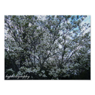 dogwood tree poster