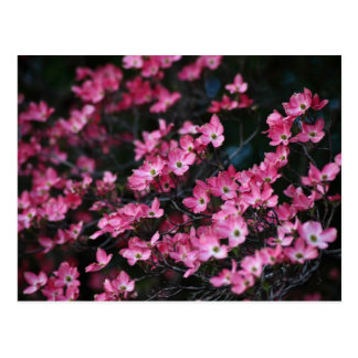 Dogwood Tree's Pink Flower Postcard