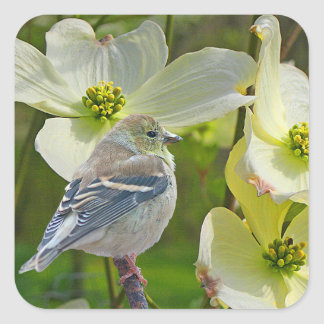 """Dogwood Visitor"" Finch Songbird Square Sticker"