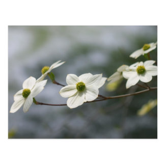 Dogwoods in Bloom... Postcard