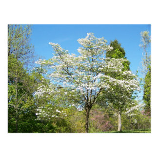 Dogwoods Postcard
