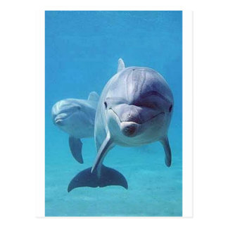 dolphin II Postcard