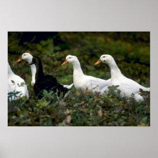 Domestic Ducks Poster