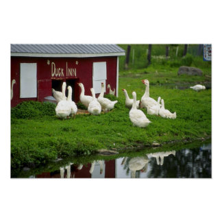 Domestic Geese And Ducks Print