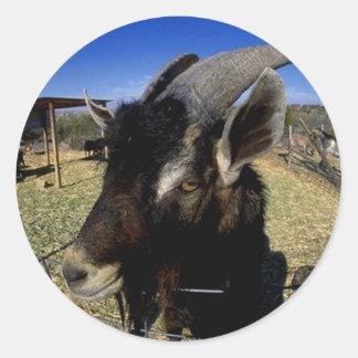 Domestic Goat Round Sticker