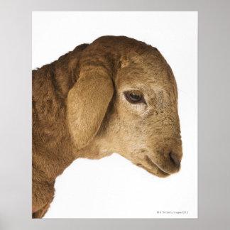 Domestic lamb poster