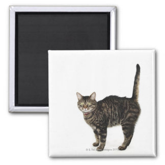 Domestic male tabby cat standing square magnet