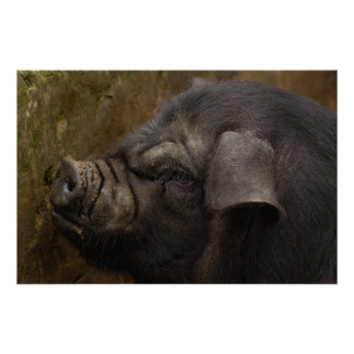 Domestic pig in Hani village Yuanyang Yunnan Print