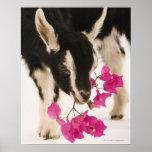 Domesticated British Alpine goat (kid). Black Poster