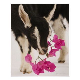 Domesticated British Alpine goat (kid). Black Poster