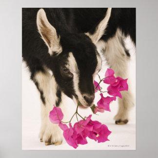 Domesticated British Alpine goat (kid). Black Posters