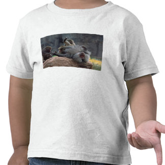 Dominant male Hamadryas baboon being groomed, Shirt