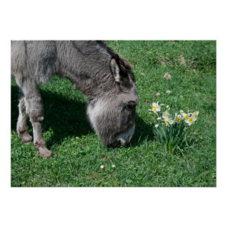 Donkeys Don't Eat Wild Daffodils Poster