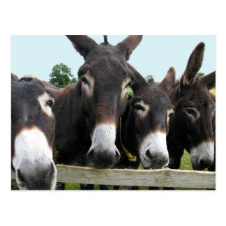 Donkeys Postcard