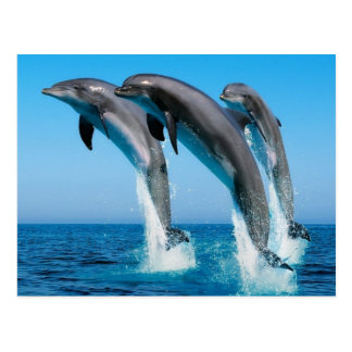 Dophins jumping postcard
