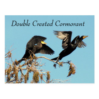 Double Crested Cormorant - Learning Postcard