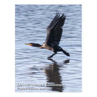Double-crested Cormorant Postcard