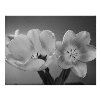 Double Delight Tulips in Monochrome Postcard
