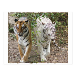 DOUBLE TROUBLE 2 TIGERS ORANGE/WHITE POSTCARD
