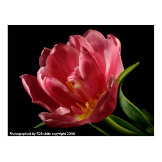 Double Tulip Blooms Spring Flower Postcard