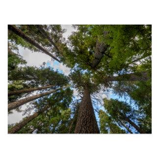 Douglas Fir tree canopy Postcard