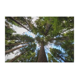 Douglas Fir tree canopy Stretched Canvas Prints