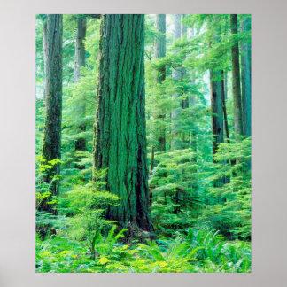 Douglas Fir tree Poster
