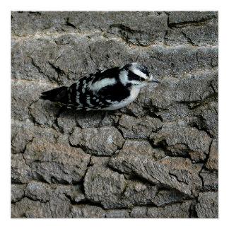 "Downy Woodpecker 20"" x 20"", Poster  (Semi-Gloss)"