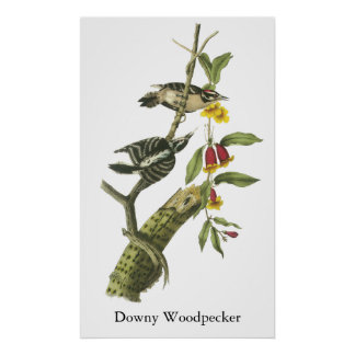 Downy Woodpecker - John Audubon Poster