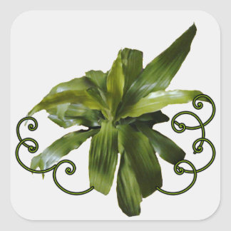 Dracaena Limelight plant scroll sticker