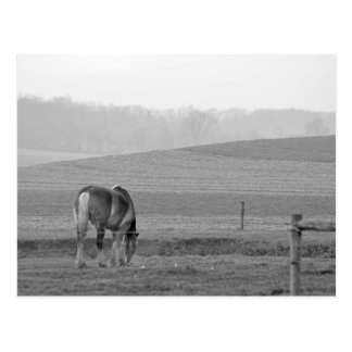 Draft Horse in Black and White Postcard