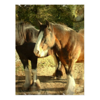 Draft Horse Pair Postcard