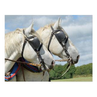 Draft horse portrait postcard