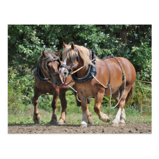 Draft horses in harness postcard