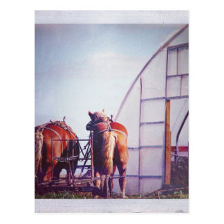 Draft Horses Ready For Work Postcard