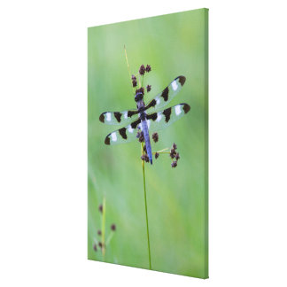 Dragon fly perched on grass, Canada Canvas Print