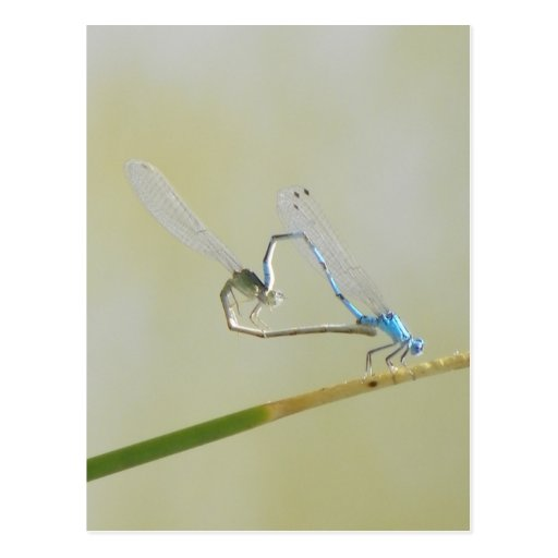dragonflies in love post cards
