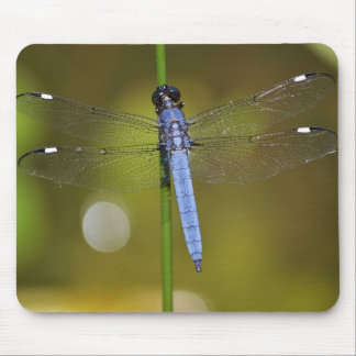 Dragonfly at rest on a mousepad