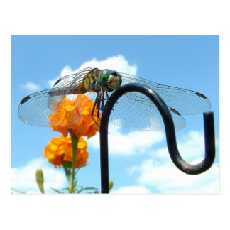 Dragonfly Marigold Sky Photo Postcard